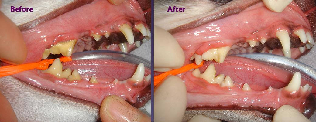 Before and After Images at Animal Dental Clinic