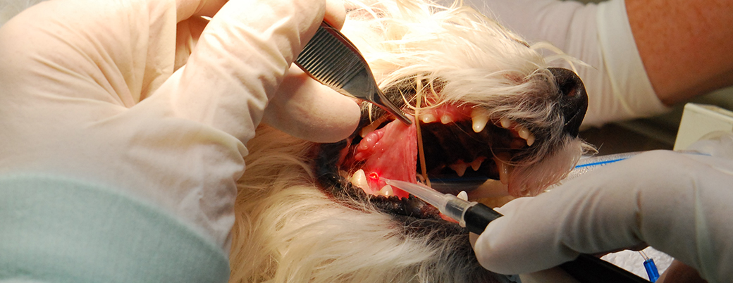 Diode laser therapy at Animal Dental Clinic Lake Oswego